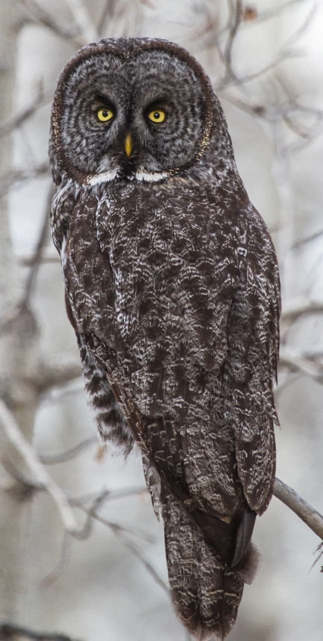 Great Gray Owl photo by David Mitchell