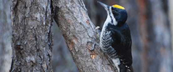 Black-Backed Woodpecker Ecology program banner photo