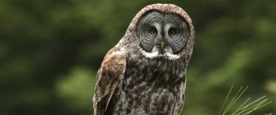 Great Gray Owl Research banner photo