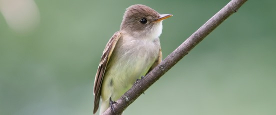 Willow Flycatcher Conservation and Restoration program banner photo