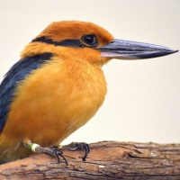 Micronesian Kingfisher Photo