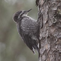 Black Backed Woodpecker Photo