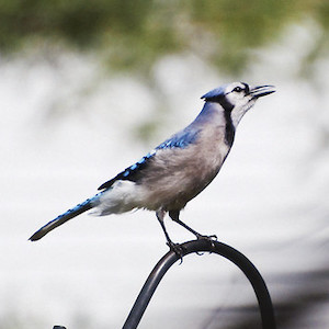 photo of a Blue Jay Photo